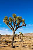 'Joshua trees in Joshua Tree National Park; Joshua Tree, California, United States of America'