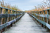 'A weathered wooden boardwalk lined with tall grasses; Riverton, Manitoba, Canada'