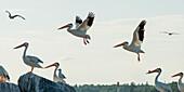 'Pelicans flying and landing on rocks; Kenora, Ontario, Canada'
