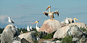 'Pelicans and seagulls perched on rocks; Kenora, Ontario, Canada'