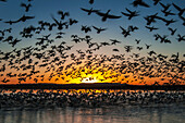 'Twenty thousand snow geese (Chen caerulescens) take flight at sunrise in Bosque del Apache National Wildlife Refuge; New Mexico, United States of America'