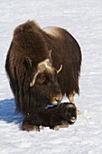 Captive at the Alaska Wildlife Conservation Center in Portage Alaska in Southcentral Alaska. A cow muskox and her newborn calf in snow. Was an early April birth for the calf. Muskoxen.