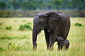 'Elephant baby nursing on her mother standing in the rain at the serengeti plains; south africa'
