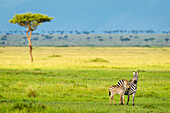 'Zebras on the serengeti plains; South Africa'
