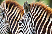 'Hide pattern of two zebras on the serengeti plains; Tanzania'