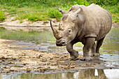 'Northern White Rhinoceros (Ceratotherium simum cottoni) at a watering hole, Gomo Gomo Game Lodge; South Africa'
