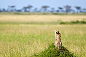 'Cheetah sitting in the serengeti plains landscape located in Tanzania with it's head turned back to the camera; Tanzania'