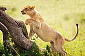 'Lioness chasing prey at the serengeti plains; Tanzania'