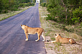 'Two female lioness looking down the long road at a distant giraffe, gomo gomo game lodge; South Africa'