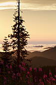 'Fog rolling into the Sol Duc Valley below Fireweed and Conifer; Washington, United States of America'