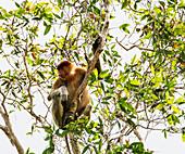Proboscis monkey or long-nosed monkey (Nasalis larvatus) in Tanjung Puting National Park, Central Kalimantan, Borneo, Indonesia