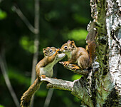 'Two baby red squirrels (Sciurus Vulgaris) playing in a tree; Ontario, Canada'