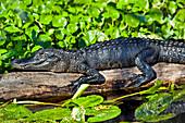 'Close up of American Alligator (Alligator mississippiensis) resting on a log in St. Johns River, Blue Spring State Park; Orange City, Florida, United States of America'