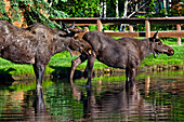 'Two young bull moose drinking water in a creek, Chena River State Recreation Area; Fairbanks, Alaska, United States of America'
