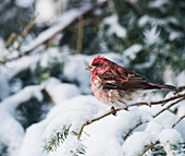 'Male purple finch on a snow covered tree; Ontario, Canada'