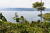 Arabica coffee plants, Panar Butan, North Sumatra, Indonesia