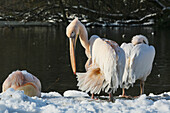 'Pelicans in the snow on a cold winters day in February at St James's Park; London, England'