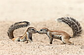 Ground squirrels (Xerus inauris) greeting, Kgalagadi Transfrontier Park, Northern Cape, South Africa, Africa