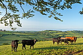 Cattle grazing in beautiful rolling countryside, Devon, England, United Kingdom, Europe