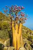 Bottle tree in bloom (Adenium obesum), endemic tree of Socotra, island of Socotra, UNESCO World Heritage Site, Yemen, Middle East