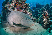 Napoleon wrasse (cheilinus undulatus) juvenile, an endangered species, Naama Bay, Sharm El Sheikh, Red Sea, Egypt, North Africa, Africa