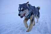 young sled dog in the snow, Qaanaaq, Northwest Greenland, Greenland