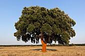 Cork Tree, Alentejo, Portugal, Europe.