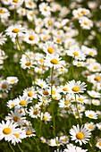 Daisies in wildflower meadow