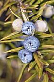 Common Juniper (Juniperus communis) berry-like seed cones. Osseja, Languedoc-Roussillon, Pyrenees Orientales, France
