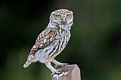 Little Owl Athene noctua Order : Strigiformes Family : strigidae.