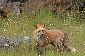 Red Fox  Vulpes vulpes  Order: Carnivora Family: Canidae.