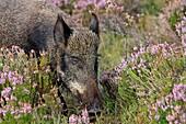 Wild Boar   Sus scrofa  family , suidae  order : artiodactyla.