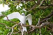 White Tern (Gygis alba), Midway Atoll National Wildlife Refuge, Sand Island, Hawaii, USA