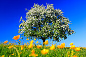 agrarian, apple, apple tree, apple tree blossom, flourish, tree, blossom, flourish, flower splendour, field, flora, spring, crowfoot, sky, pomes, agriculture, Malus domestica, nature, fruit, fruit_tree, Oetwil am See, plant, Ranunculus acris, sharp crowfo