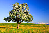 agrarian, tree, pear tree, pear, light bulb, pears, light bulbs, blossom, flourish, flower splendour, field, flora, spring, crowfoot, sky, pomes, agriculture, nature, fruit, fruit_tree, Oetwil am See, plant, Pyrus domestica, Ranunculus acris, sharp crowfo