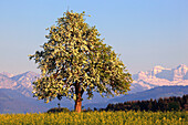 agrarian, tree, mountain, mountains, pear tree, pear, light bulb, pears, light bulbs, blossom, flourish, flower splendour, field, flora, spring, sky, pomes, agriculture, nature, fruit, fruit_tree, Oetwil am See, plant, Pyrus domestica, rape, rape field, S