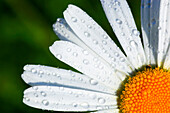 Blossom, flourish, petal, petals, detail, color, field, humidity, moisture, freshness, spring, Leucanthemum vulgare, macro, marguerites, marguerites, marguerite blossom, nature, plant, rain, raindrop, Switzerland, summer, the sun, rays, beams, rope, dew,