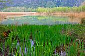 Lago di Cavazzo, Italy, Europe, Friuli_Venezia Giulia, lake, sea, lake shore, reed, marsh plants, irises