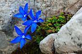 Rundblättriger Enzian, Dolomiten, Italien