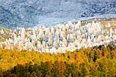 Alps, cutting, part, tree, mountain, mountains, flora, trees, detail, flora, mountains, autumn, autumn colors, autumn wood, Indi