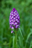 Nature, Flower, Plant, Lila, Violet, Orchidaceae, Anacamptis pyramidalis, Switzerland
