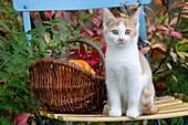 Kitten sitting on garden chair next basket with pumpkins, Red and White