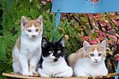 Three Kitten sitting on garden chair, Germany