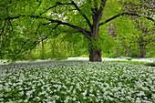 A Carpet with blooming Ramsons Wild garlic, Allium ursinum in spring at castle Park Putbus, Insel Rügen, Isle of Ruegen, Mecklenburg-Vorpommern, Germany