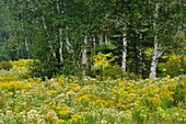Late summer meadow with goldenrod, aster and white birch
