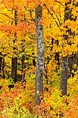 Temperate deciduous forest trees in peak autumn colour Algonquin Provincial Park, Ontario