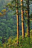 Pine trees at the edge of Cedar Creek Canyon, Petit Jean State Park, Arkansas, USA.