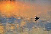 Waterfowl loafing on Lake Bailey at dawn, Petit Jean State Park, Arkansas, USA.