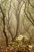Bosc de Planícia, Mola Planícia, Banyalbufar Sierra de Tramuntana Majorca Balearic Islands, Spain