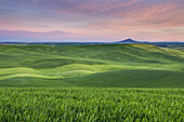 Dawn over the rolling hills of green wheat fields in the Palouse region of the Inland Empire of Washington.